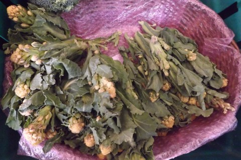 Yellow Sprouting Broccoli